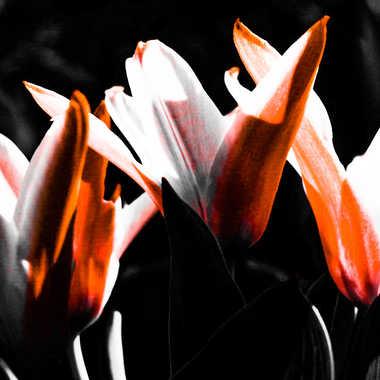 tulipes version 2 par brj01