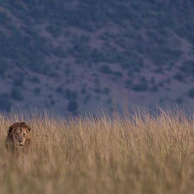 Roi lion par Spectron
