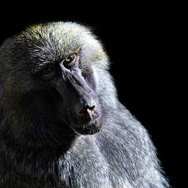 Portrait de Babouin par patrick69220