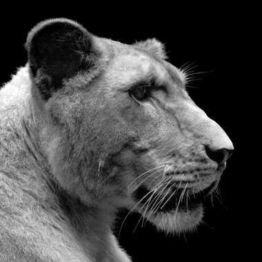 Lionne et fière de l'être par lynx