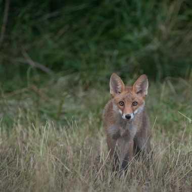 Un jeune renard  par Guy07
