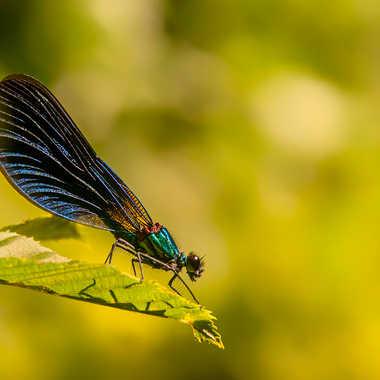 Calopterix virgo par jctphoto