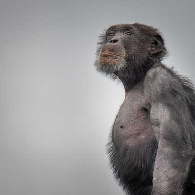 Chimpanzé par titibla38
