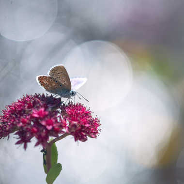 Papillon sur Sedum par Anonymous
