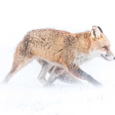 Tempête de neige pour goupil par patouphoto