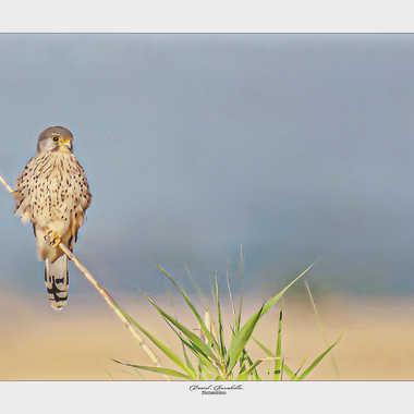 Pose matinale du Faucon crecerelle par daniel13660