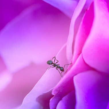 la rose et la fourmi par brj01
