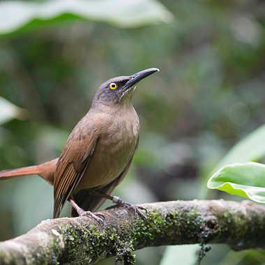 Trembleur brun de Guadeloupe par patrick69220