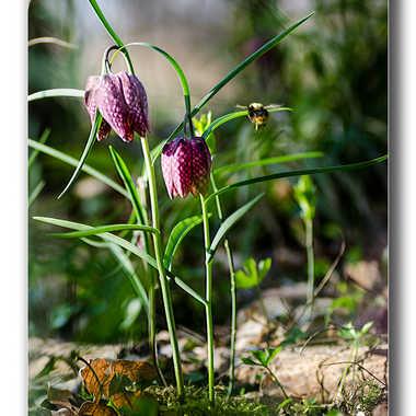 En quête de pollen par joel