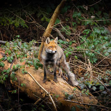 renard par Flophoto