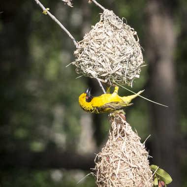 Tisserin et son nid par patrick69220