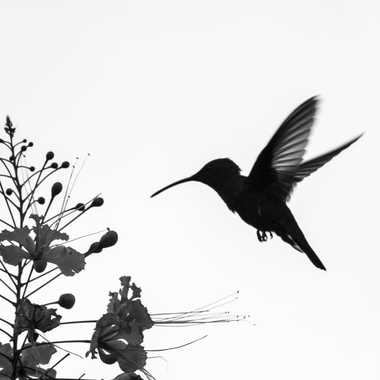 colibri par aym.b
