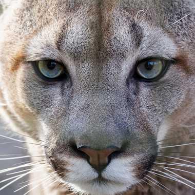 Puma par dvandenabelle
