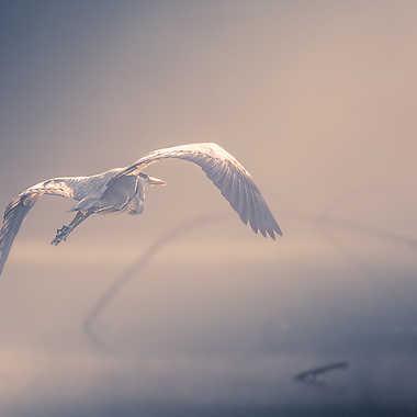 Héron dans la brume par MG67