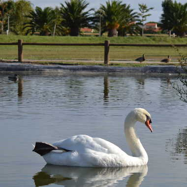 Cygne au plan d'eau par Albatros